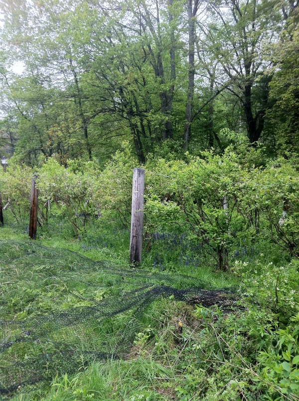 Blueberry netting day