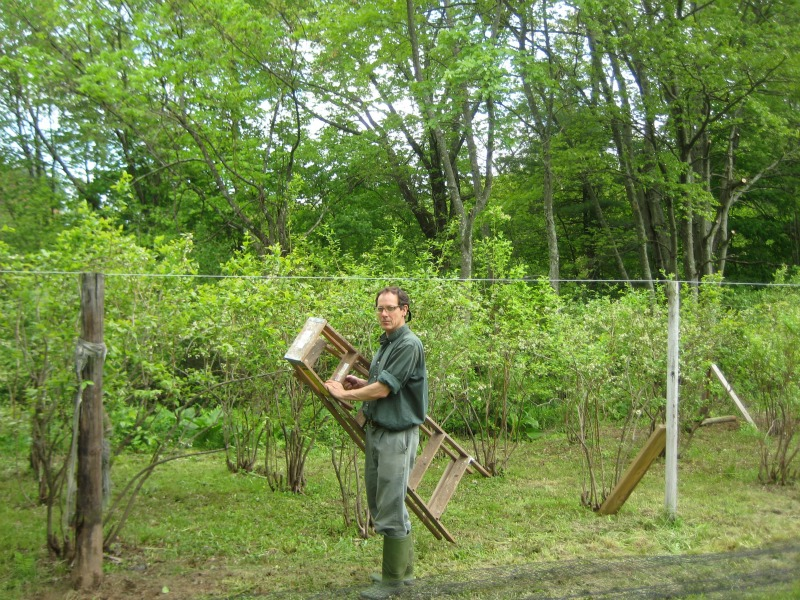 Don working on the blueberry netting