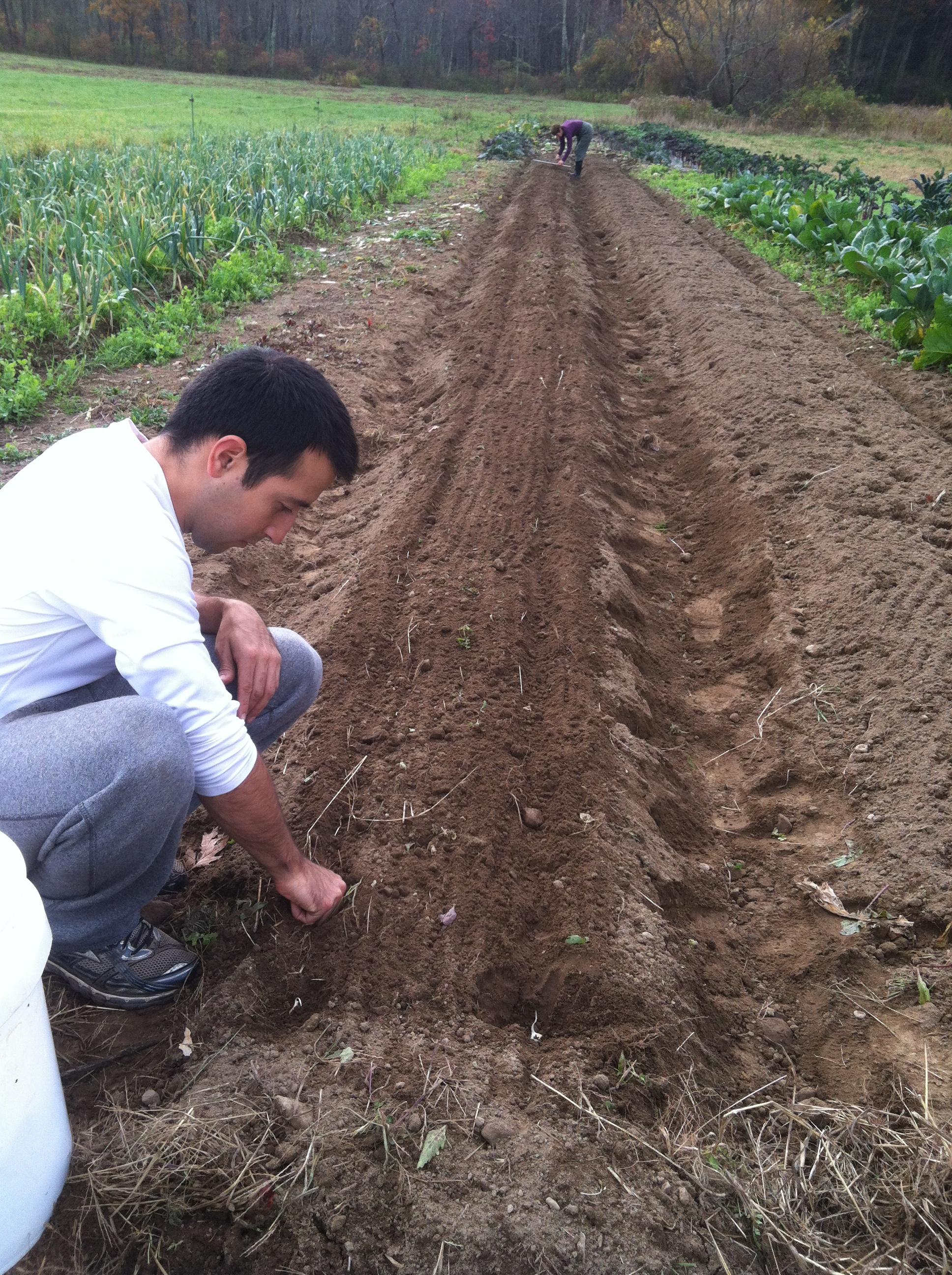 Curtis planting cloves