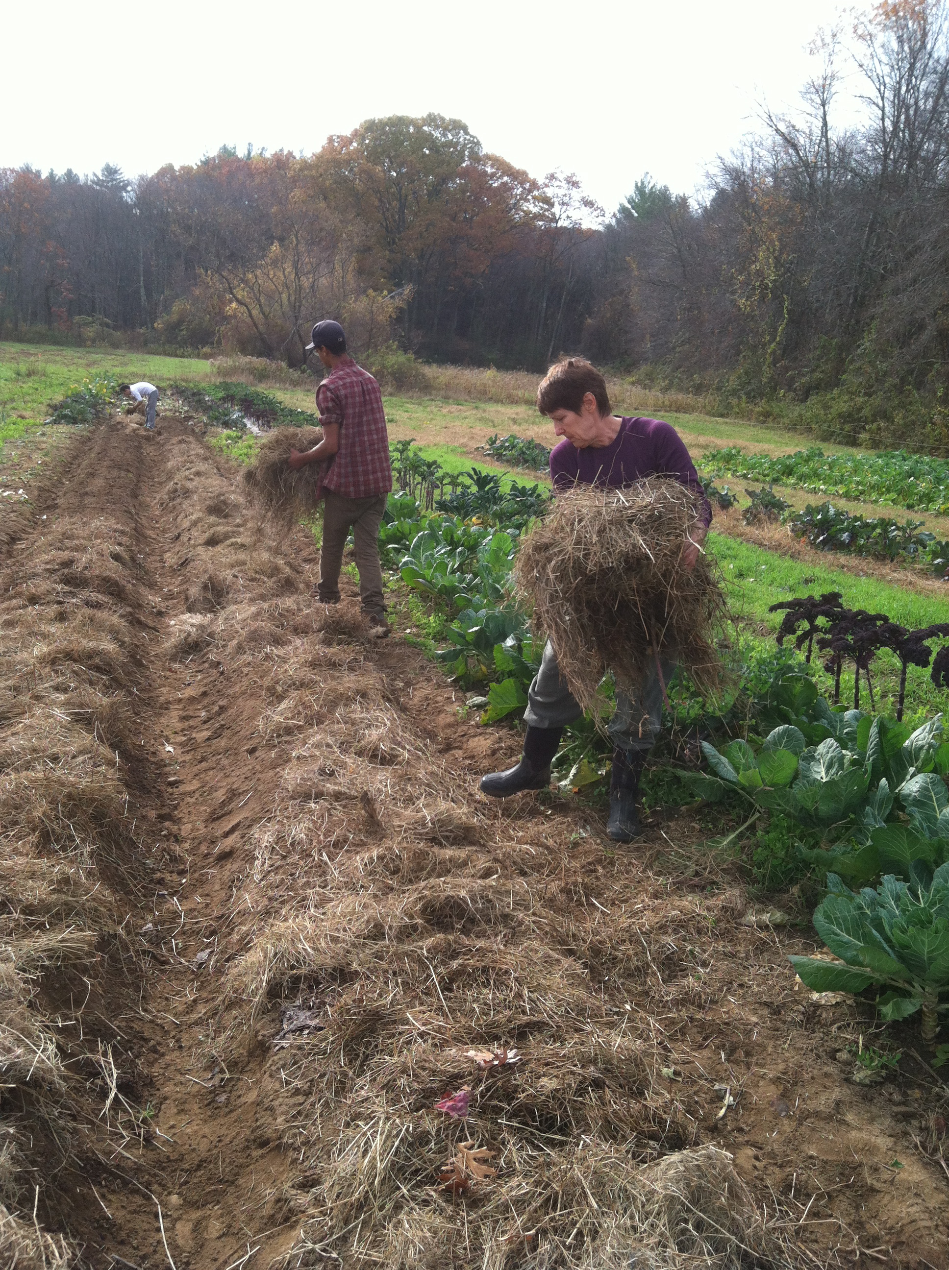 Covering garlic beds with hay