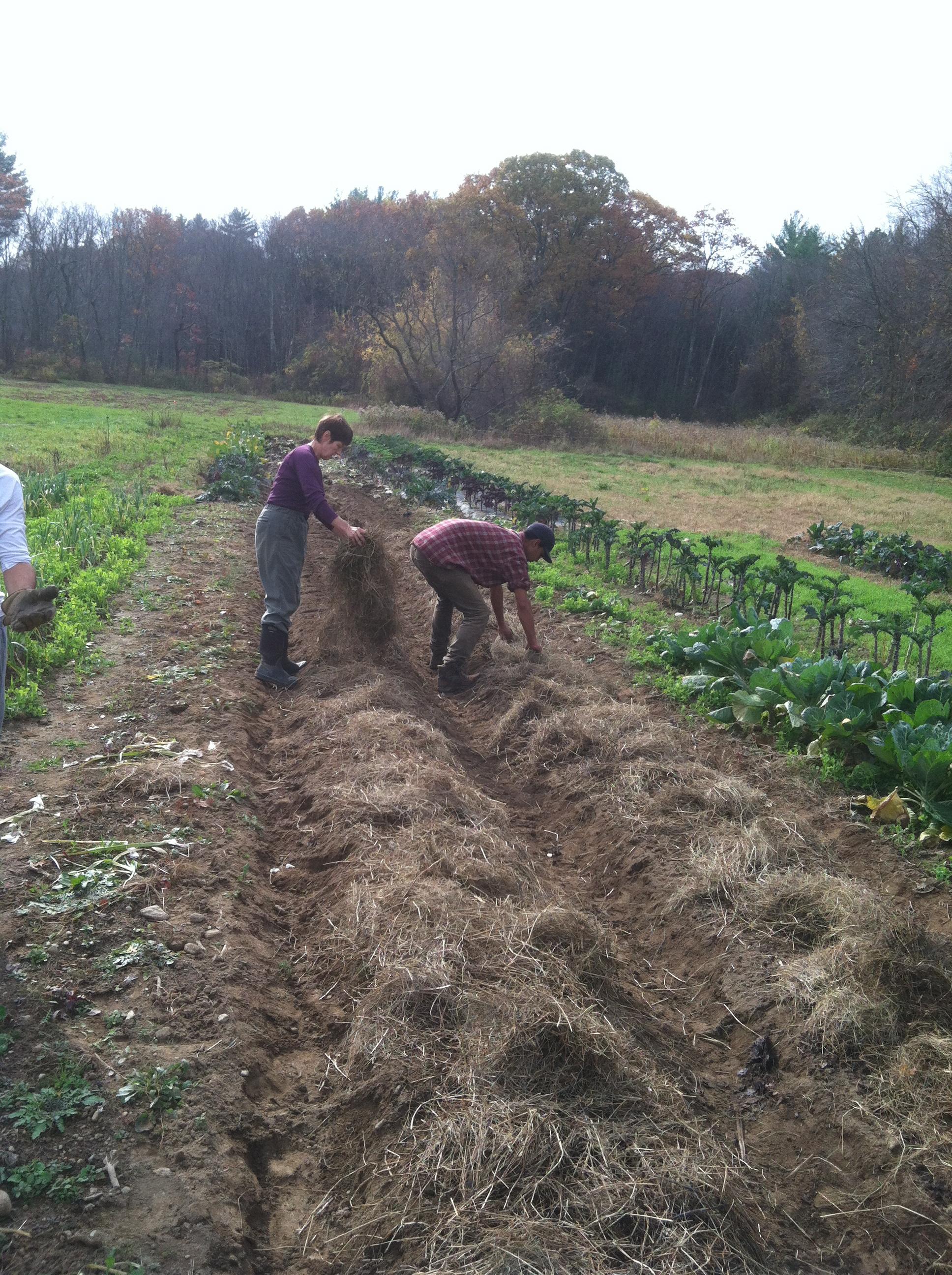 Mulching the garlic beds