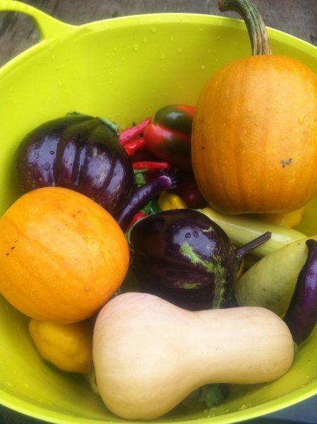 New England Pie Pumpkins, Waltham Butternut Squash and Black Beauty Eggplant