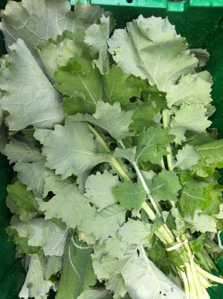 Camden Kale (Siberian type)
