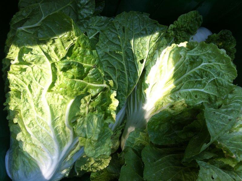 Napa Cabbage, Bilko