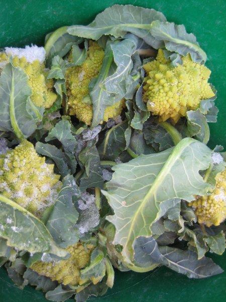 Romanesco Broccoli - nature's fractal art