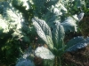 Lacinato Kale (aka Dinosaur or Tuscan Kale)